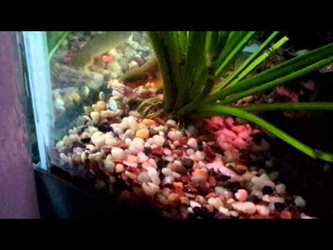 African rope fish eatting chicken youtube for African rope fish