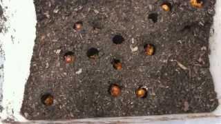 前の年に採って来たカブトムシのペアに生ませた卵から生まれ、ここまで...