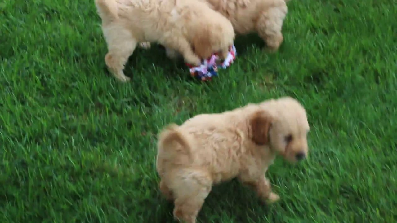 F1b Mini Goldendoodle Puppies For Sale Youtube