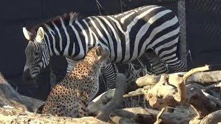 よこはま動物園ズーラシアのシマウマとチーターです。 Zebra and cheeta...