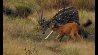 Indian wild dogs attack a spotted deer   CCTV English
