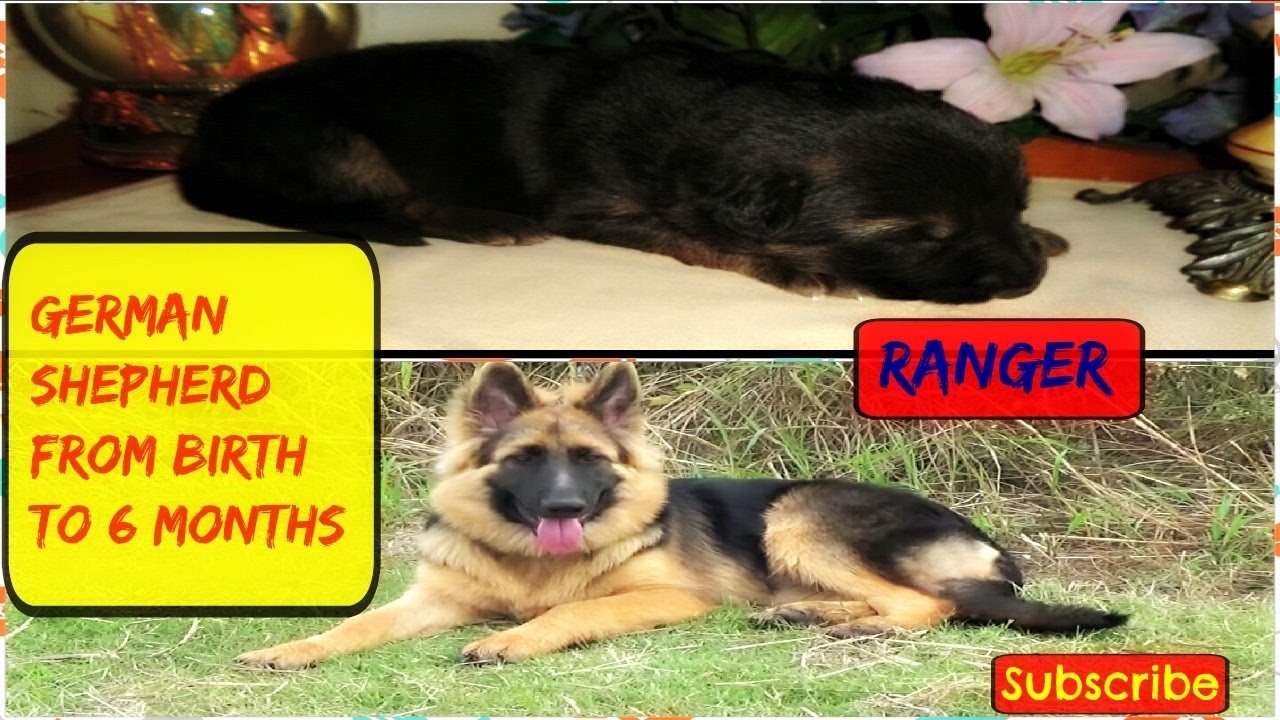 German shepherd puppy life stages from birth to 6 months ranger german shepherd puppy life stages from birth to 6 months ranger nvjuhfo Gallery