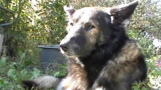 Правда о Сером—история собаки. Откровенный рассказ о судьбе Серого.