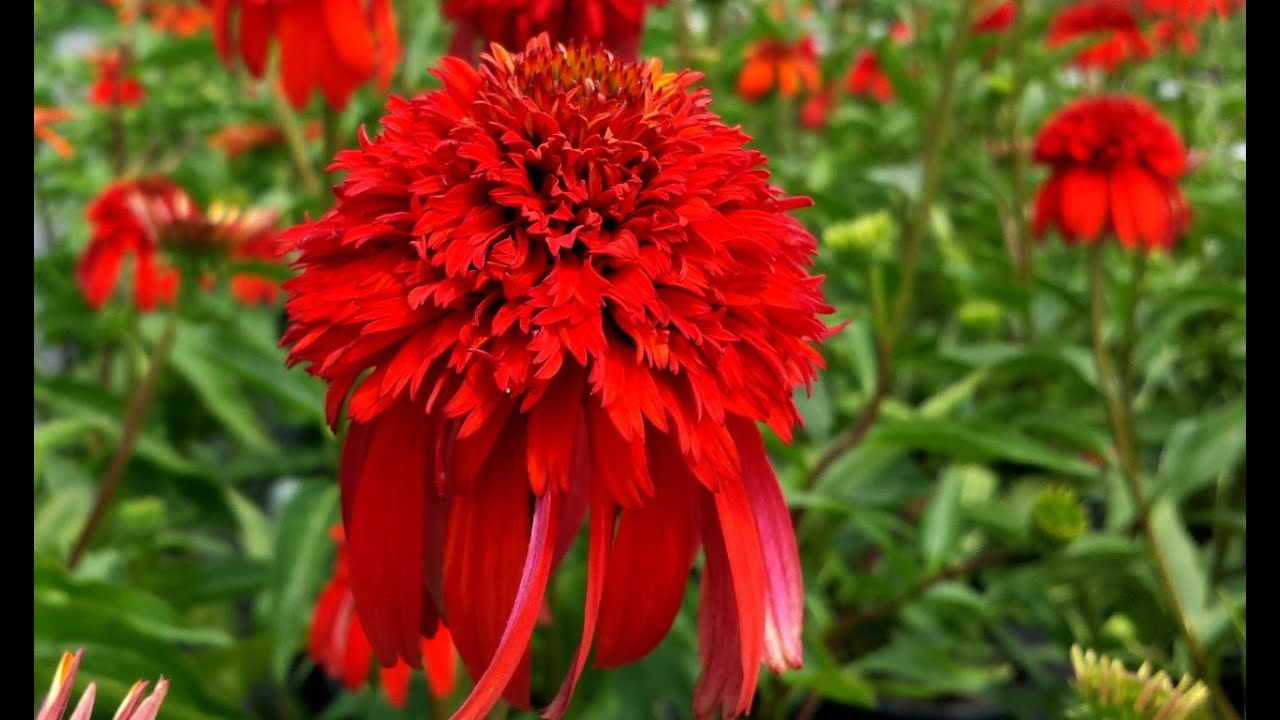 best perennials echinacea hot papaya coneflower youtube. Black Bedroom Furniture Sets. Home Design Ideas