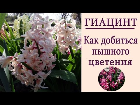 Гиацинты - уход до и во время цветения. Как добиться пышного цветения гиацинтов.