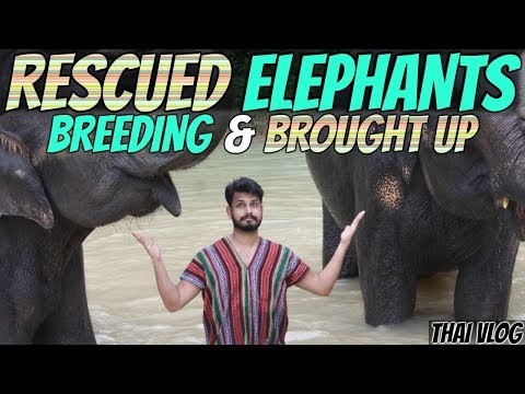 Rescued Elephants Brought up in Thailand | Alishan Travels | Azlan Shah