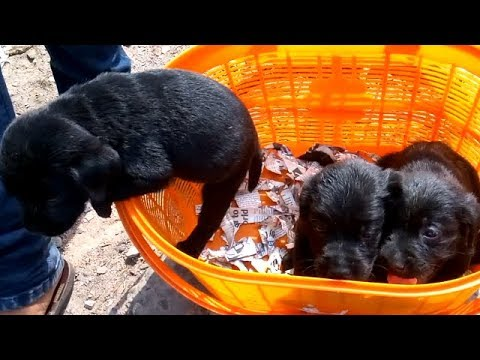 Home Breed Black Cute Lab Puppies For Sale At Galiff Street