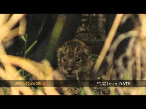 Rare HD video of newborn lion cubs
