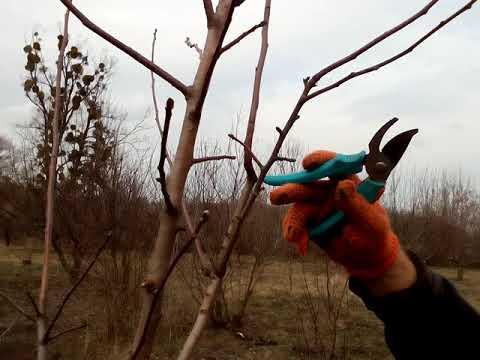 Формовка яблони(часть 2), сорт Мельба.