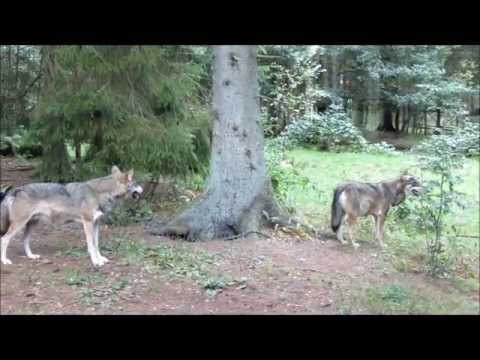 Nordens Ark 2012: Gray wolf, Canis lupus