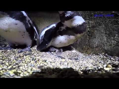 Nace En El Acuario De Veracruz Primer Pingüino En Cautivero