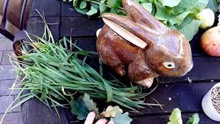 видео Правильное питание декоративных кроликов