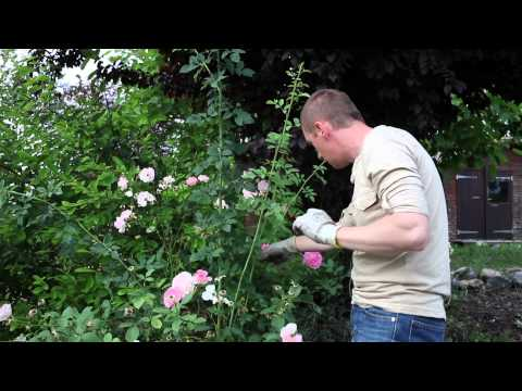 Bien éliminer les rejets des rosiers