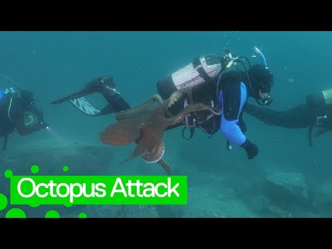 Giant octopus launches attack on diver off the Sea of Japan