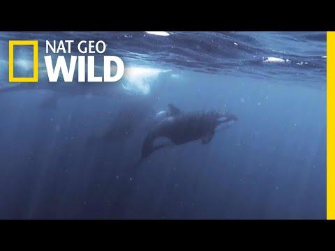 Orcas vs. Sperm Whales | Nat Geo Wild