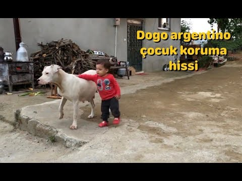 DOGO ARGENTNO DS OCUU DER KPEKLERDEN KORUMA  GDS