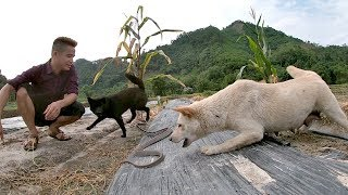 Chó Săn Bắt Được 2 Con Rắn Ẩn Nấp Dưới Ruộng Dưa   Nhịp Sống Đông Bắc