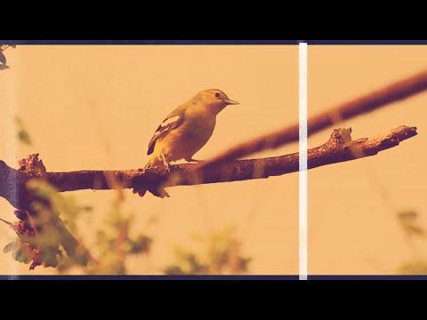 suara pikat burung sirtu