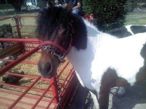 Fiestas Infantiles. Renta de ponys. PONI. ponny. GRANJA didactica. A DOMICILIO.