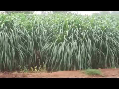 Hybrid napier CO 4 fodder production