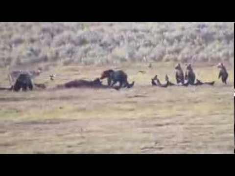 Buffalo Kill Yellowstone bears wolves large