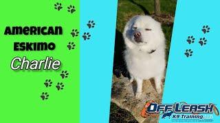 2.5yo American Eskimo (Charlie) I Dog Reactivity I Best Dog Trainers in Delaware