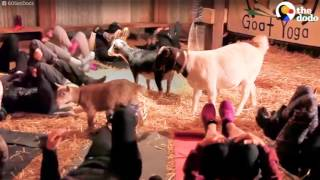 GOAT YOGA: Now You Can Do Yoga With Goats | The Dodo