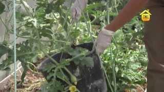 Выращивание арбуза в средней полосе. Личный опыт // FORUMHOUSE(Больше видео на http://www.forumhouse.tv Арбузы сегодня выращивают не только в южной полосе. Опыт наших садоводов пока..., 2013-08-12T23:39:14.000Z)