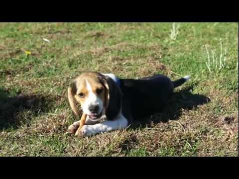 Beagle Puppy Temperment Video A+ Dogs Mini Beagle