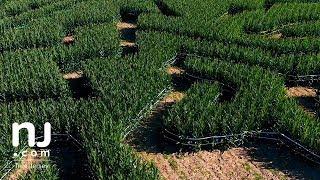 Massive corn maze pays tribute to Thomas Edison