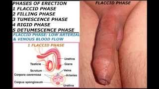 Human penis part 10 : Phases of erection and Erectile dysfunction .18+ Educational purposes only