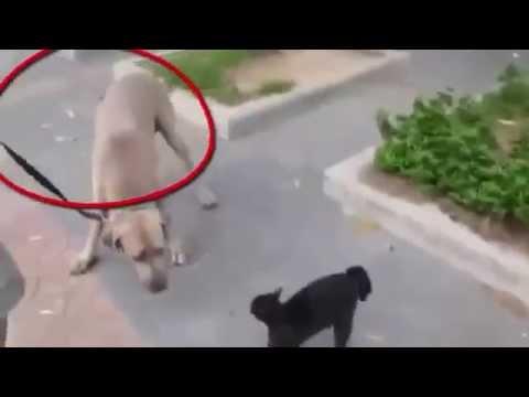 Cat Beats up dog