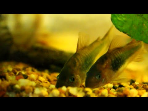 Hints On Breeding Bronze Corydoras Catfish (corys)