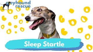 Greyhound Rescue  Sleep Startle