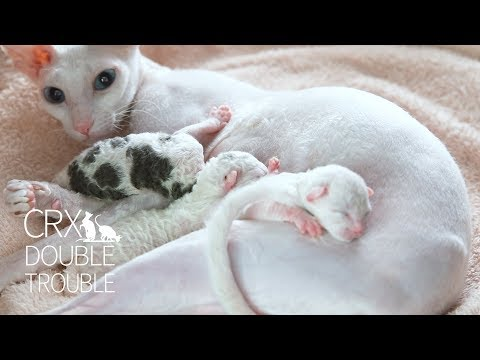 Two day old Cornish rex kittens [CUTE KITTENS]