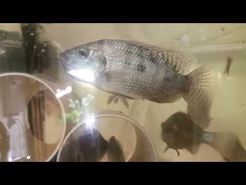 Tilapia After Having Eggs Male And Female Comparisons
