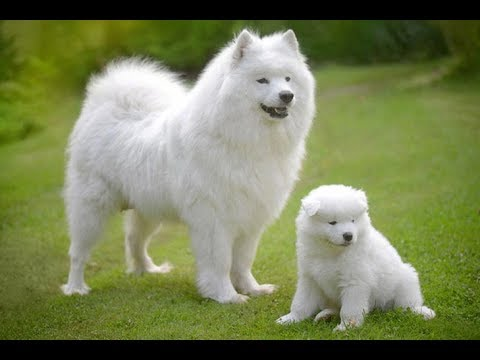 Most Cute..! Most Lovely..! & Most Expensive..! -Samoyed Dog