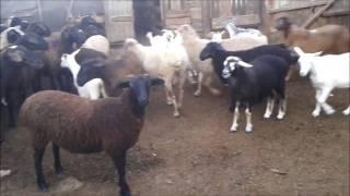 Козы  и  овцы  нашей  деревни