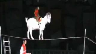 китайский цирк с трюками - splendid chinese circus with fantastic stunt(Козел или баран с обезьяной на спине вытворяет фантастические трюки, ходит по тросу и разварачивается на..., 2011-08-06T00:57:57.000Z)