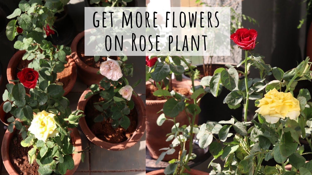 How to Get More Flowers on Rose Plant | Garden Up