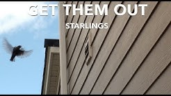 Get Starlings Out