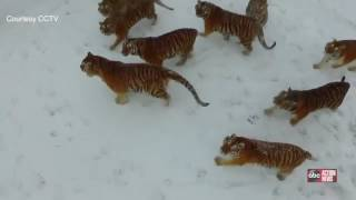 COOL VIDEO | Siberian Tigers take down a drone following them