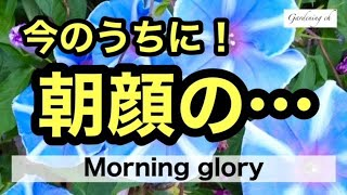 【ガーデニングを楽しもう!】アサガオの寄せ植え・摘心・植え付け等を行う動画です。Enjoy gardening! This is a video about the morning glory.