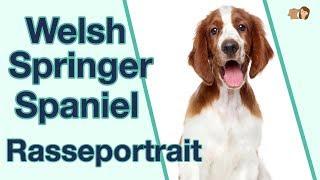 Welsh Springer Spaniel im Rasseportrait: Weißt du alles über diese intelligente Hunderasse?