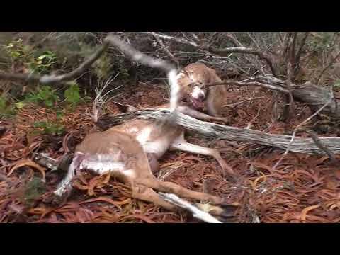 Hunting Deer With A Dog On Kauai, Hawaii