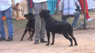 Amazing Rottweiler Dogs in Hyderabad Competition 2013