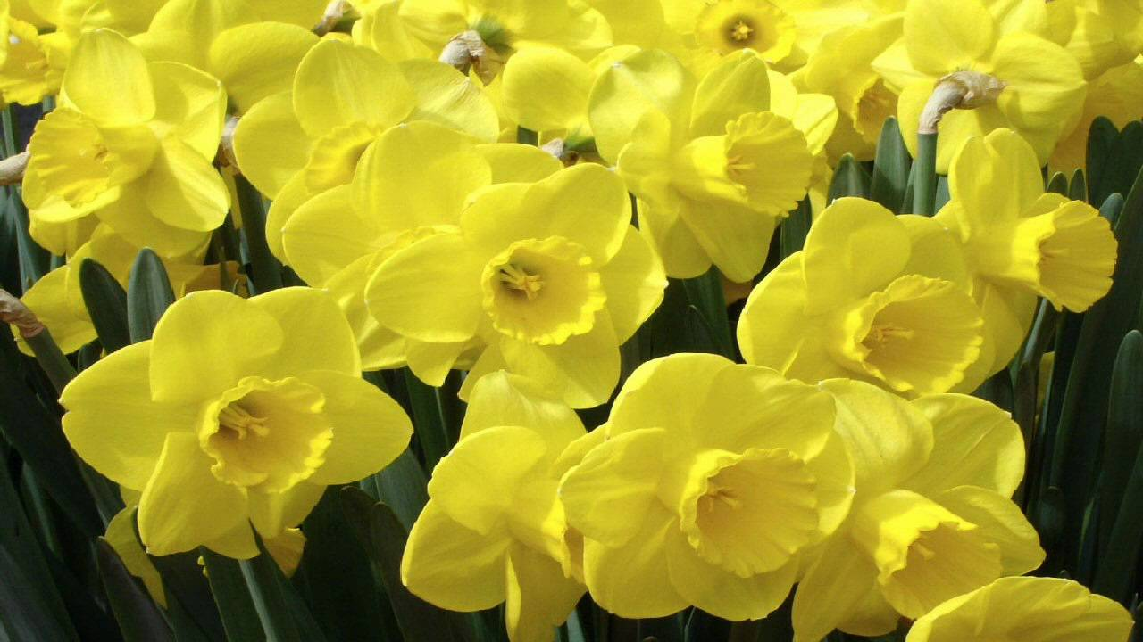 "a close reading of daffodils by ""such a jocund company"": scanning wordsworth's ""daffodils  it when i do a close reading of  company"": scanning wordsworth's ""daffodils."