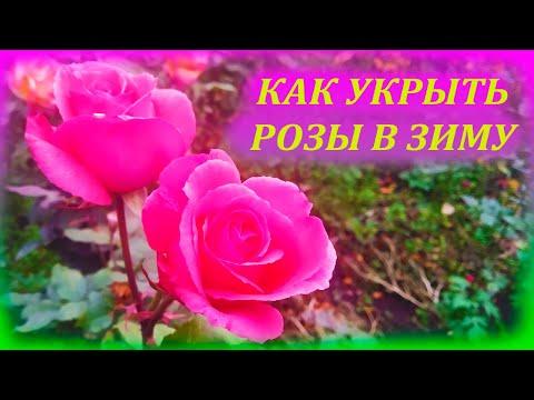 Вопрос: Как укрывать розы на зиму так, чтобы они не выпрели?