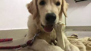 Golden retriever puppy eating chewing bone | Persian cat | dog funny videos |