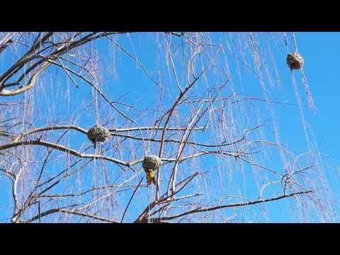 20170710 143638   Herrieschoppende wevervogels Calvinia